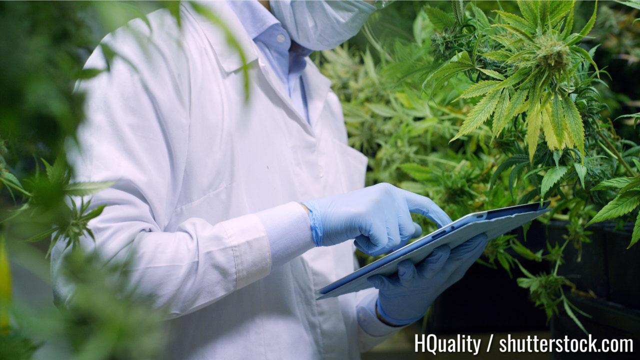 Porträt von Wissenschaftlern mit Maske, Brille und Handschuhen, die Hanfpflanzen in einem Gewächshaus überprüfen. Konzept der pflanzlichen Alternativmedizin, KBD-Öl, Pharmaindustrie